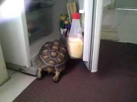 tortoise in the fridge