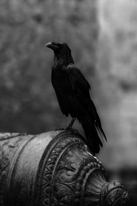 Black bird of omen