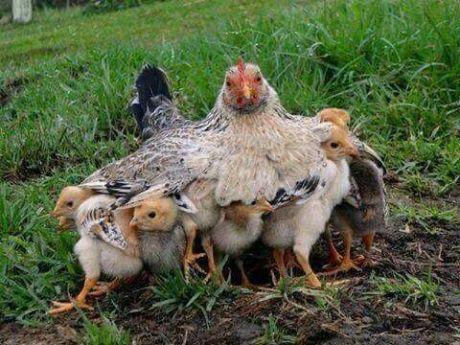 mother-hen